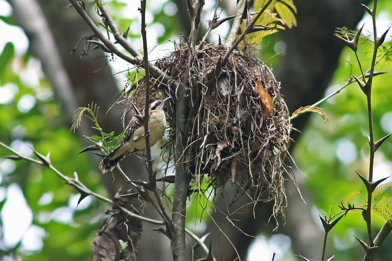 rufous-naped wren at nest, hotel villa lapas