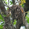 rufous-naped wren at nest, hotel villa lapas