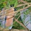 boat-billed herons, rio tarcoles