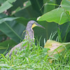 bare-throated tiger heron (adult), rio tarcoles