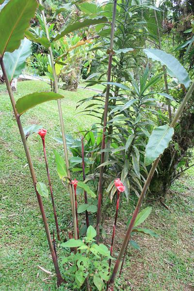 hawaiin torch ginger, rancho naturalista