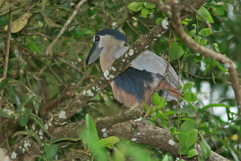 boat-billed heron, rio tarcoles