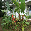 Heliconia sp., rancho naturalista