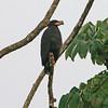 mangrove black hawk, rio tarcoles
