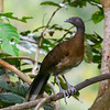 gray-headed chachalaca, rancho naturalista