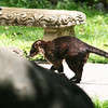 coati at hotel villa lapas; views of coati's always seem to be as they're running away