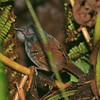 dull-mantled antbird, rancho naturalista<br /> these are very hard to see, skulking in dense understory; getting a photo was extremely lucky