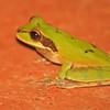 masked treefrog at hotel villa lapas