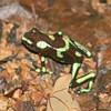 green dendrobates (poison dart) frog, Carara NP