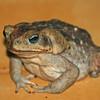 marine toad, hotel villa lapas