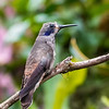brown violet-ear - a very subtly-marked hummingbird