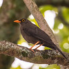"great thrush is the common ""robin"" of the upper andes and inter-andean valley"