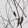 not much detail in this photo, but the sword-billed hummingbird is unmistakable by shape
