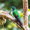 green-crowned brilliant is found on the western slope of the andes