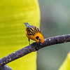 golden tanager -- one of the large group of Tangara tanagers; most are very colorful and intricately patterned