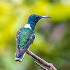 white-necked jacobin is one of the most common and widespread of the hummers in the neotropics