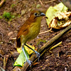 yellow-breasted antpitta, angel paz's