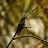 swordbilled hummingbird, yanacocha