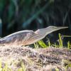 squacco heron, mejanes