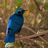 blue-eared glossy starling