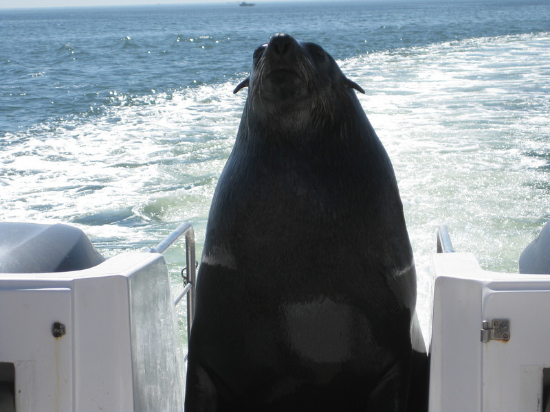 cape fur seal coming aboard