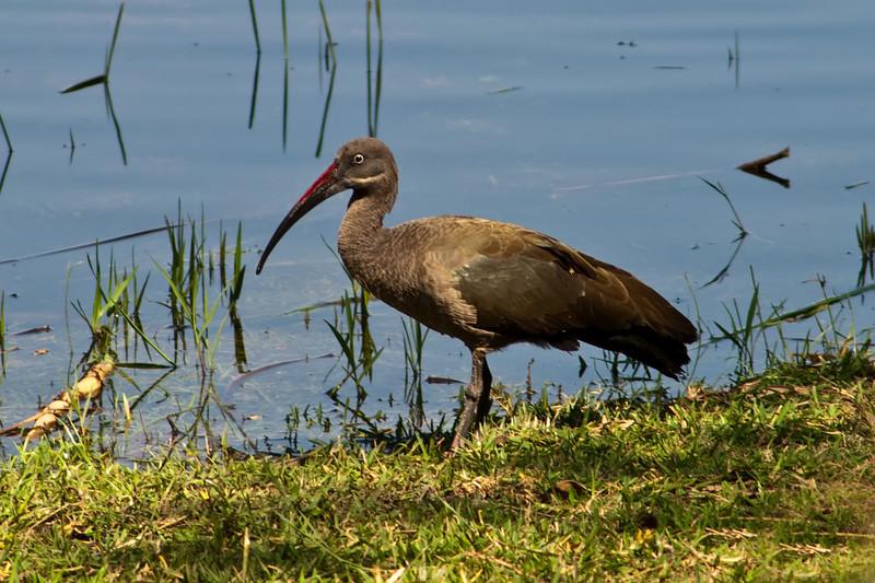 hedada ibis