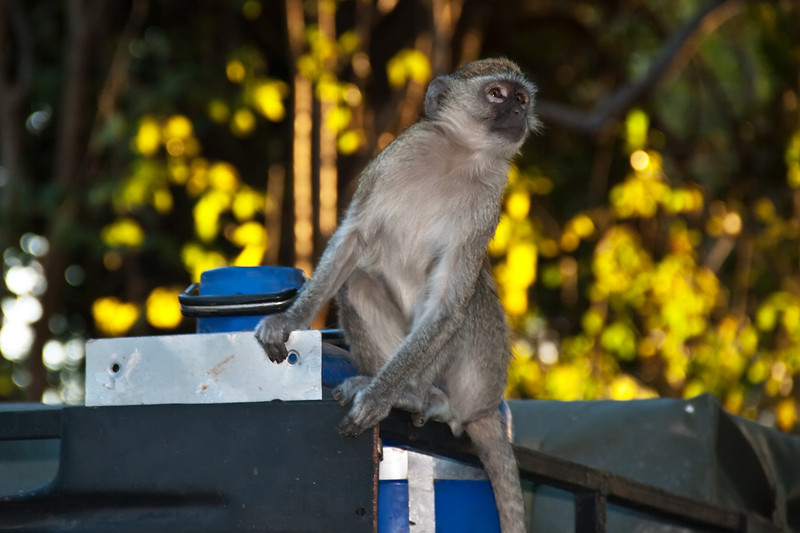 lianshulu welcoming committee (aka vervet monkey)