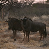 brindled gnu or blue wildebeast