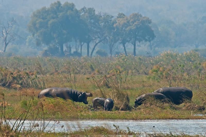 hippos -- breeding pod