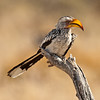 yellow-billed hornbill (aka the flying banana)