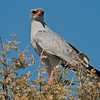 pale chanting-goshawk