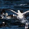albatross chum scrum