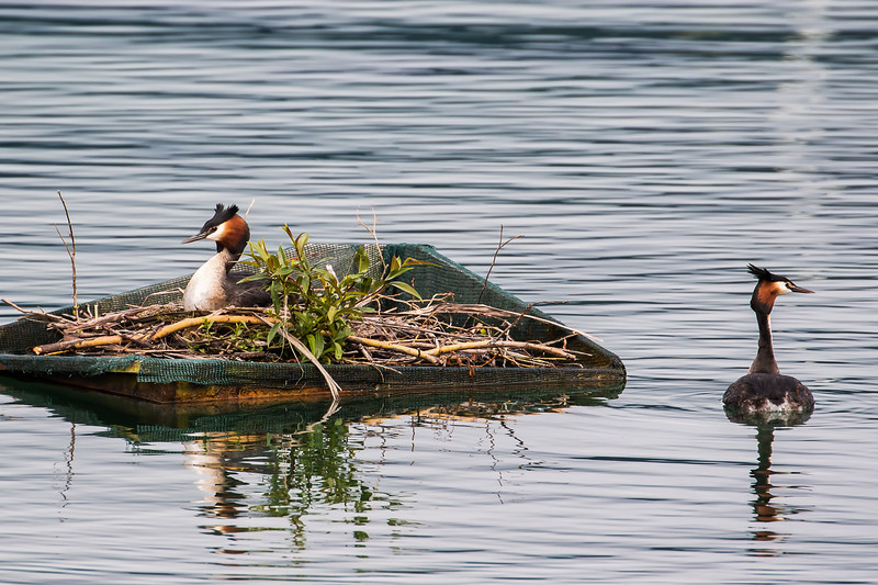 great-crested grebe using artificial nest platform