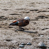 paradise shelduck (female)