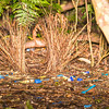 "satin bowerbird ""avenue"" bower"