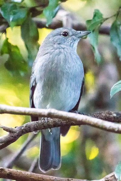 gray shrike-thrush