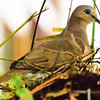 white-tipped dove on nest