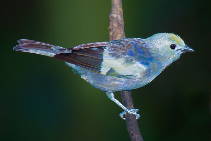 palm tanager -- asa wright veranda