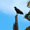 common black-hawk -- trinidad