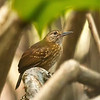 female silvered antbird -- trinidad