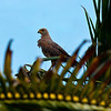 savanna hawk -- trinidad