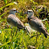 southern lapwings -- trinidad