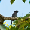 white-winged becard -- trinidad