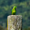 green-rumped parrotlet -- trinidad