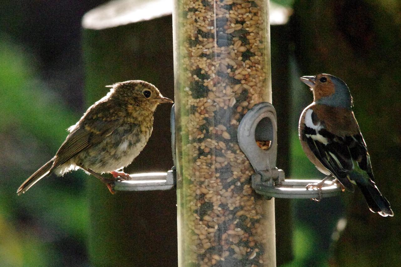 Lake District 2012- Chaffinch, Robin