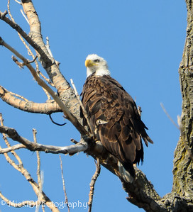 I love the look of eagle in the tree and the feathers somewhat ruffled in the wind.
