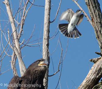 Who would have thought that a small bird would be the bully to the young eagle.