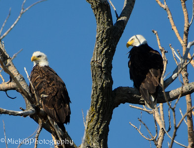 Here are the two eagles sitting on the tree.  I wish the one ealge did not have so many shadows on it.