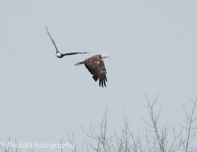 These two adult eagles were flying around the nest area at Lake Wanahoo.