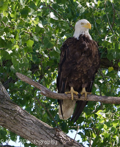 The eagle was perched in the trees.  It was a great day to kayak and take photographs.